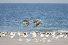 Brown Pelicans Flying Down The Beach Stock Photos