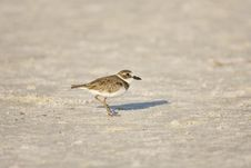 Wilson S Plover All Alone Royalty Free Stock Image