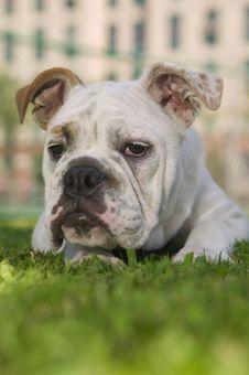 Free Happy Bulldog Royalty Free Stock Photography - 6335607