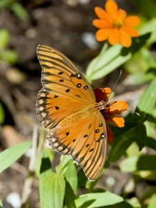 Free Gulf Fritillary1 Royalty Free Stock Images - 6335779