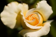 Free Yellow Rose Royalty Free Stock Photography - 6335927