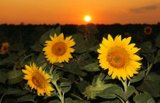 Free Sunflower Field In The Sunset Stock Photography - 6335942