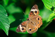 Common Buckeye Butterfly Stock Photo