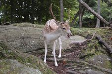 Free Fallow Deer Royalty Free Stock Photo - 6336085