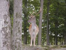Free Fallow Deer Stock Photo - 6336110