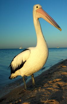 Free Sunset Pelican Royalty Free Stock Photo - 6337635