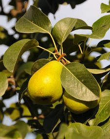 Free Ripe Organic Pears Stock Photos - 6338793