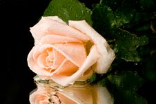 Free Pink Rose With Water Drops Stock Images - 6338884