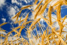 Golden Wheat In The Blue Sky Royalty Free Stock Images