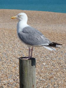 Free Seagull Stock Image - 6339331