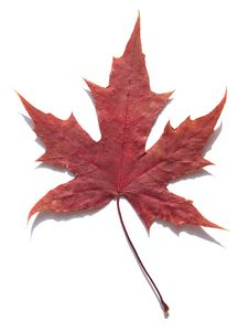 Free MAPLE LEAF Stock Photography - 6339752