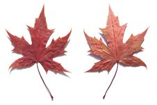 Free MAPLE LEAF Stock Images - 6339754