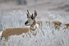 Free Wheat Field Antelope Stock Image - 6339891