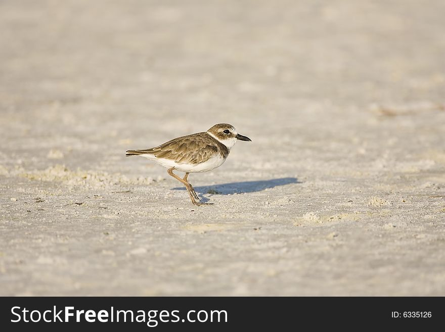 Wilson s Plover all alone