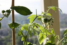 Free Green Tomatoes Growing At Home Royalty Free Stock Photos - 63365788
