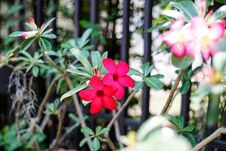Free Desert Rose-Impala Lily- Mock Azalea Stock Photo - 63366840