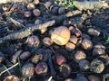 Free Acorns On The Ground In Early Winter. Royalty Free Stock Photos - 63377708