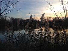 Phragmites Grass In Front Of A Pond During Sunset In Early Winter. Royalty Free Stock Photography