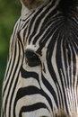 Free Zebra Face Royalty Free Stock Photos - 6342908