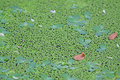 Free Duckweed Royalty Free Stock Photography - 6343007