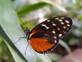 Free Tiger Longwing Butterfly Royalty Free Stock Photo - 6345185