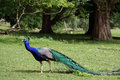 Free Beautiful Peacock In The Forest Stock Photos - 6346003