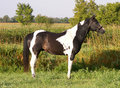 Free Paint Stallion In Meadow Royalty Free Stock Photos - 6346228