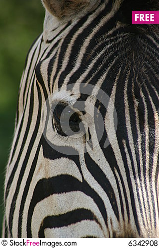 Free Zebra Face Royalty Free Stock Photos - 6342908