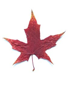 Free MAPLE LEAF Royalty Free Stock Photography - 6340747