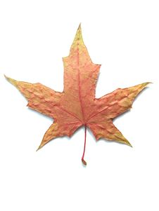 Free MAPLE LEAF Royalty Free Stock Image - 6340756