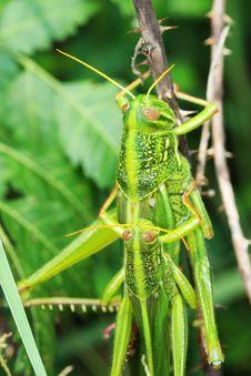 Free Grasshopper Stock Photo - 6340900