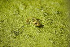 Free Green Frog Royalty Free Stock Image - 6341246