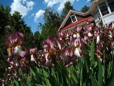 Free Iris Garden Royalty Free Stock Photo - 6341295