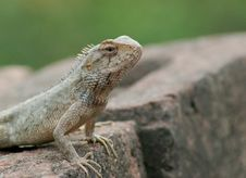 Free Lizard Stock Photography - 6341852