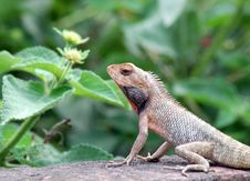 Free Lizard Stock Photo - 6341870