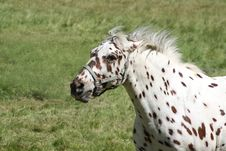 Tigered Horse Royalty Free Stock Photography