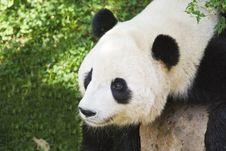 Free Panda Cub Stock Photos - 6343993