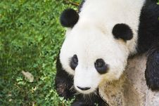 Free Panda Cub Royalty Free Stock Images - 6344019