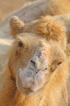 Free Camel Royalty Free Stock Photos - 6344138