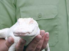 Albino Alligator, Young Stock Photos