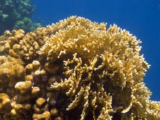 Free Yellow Coral Stock Image - 6344481