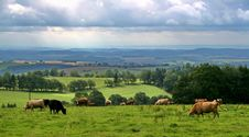Free Cows On The Meadow Royalty Free Stock Images - 6345189