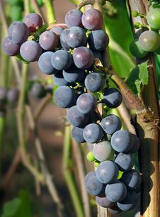 Free Bunch Of Grapes Stock Photos - 6345293