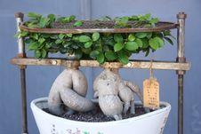 Free Bonsai Stock Photo - 6345560
