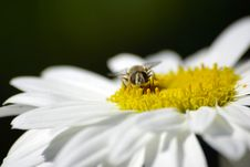 Free A Bee Sitting On Chamomile. Macro. Stock Image - 6346031