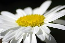 Free White Flower Closeup On Black Background. Royalty Free Stock Photography - 6346107