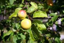 Free Closeup Of Pair Of Apples Stock Images - 6346124