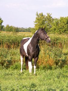 Free Paint Stallion In Meadow Stock Photography - 6346132