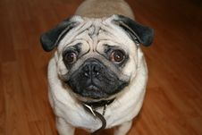 Free Pudgy Pug Stock Images - 6346814