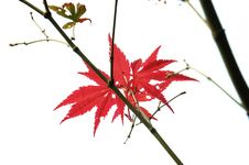 Free Red Leaf Royalty Free Stock Photos - 6347008